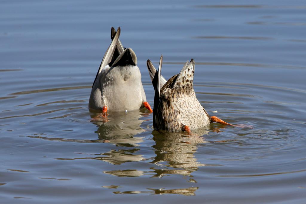 Polowanie na kaczki, czyli jak poradzić sobie z pogłębioną lordozą lędźwiową, kifozą piersiową oraz nienaturalnym chodem w ciąży.